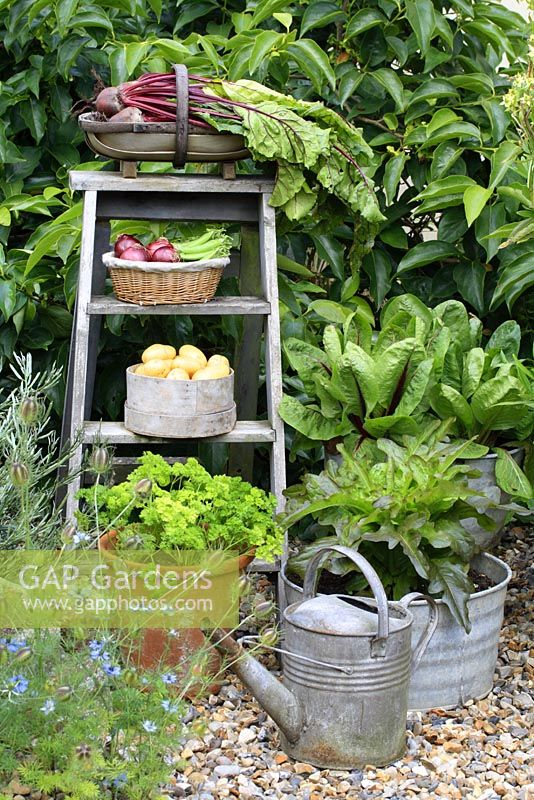 Wooden step ladder with harvested vegetables in containers, Parsley and Lettuce growing in pots, June.