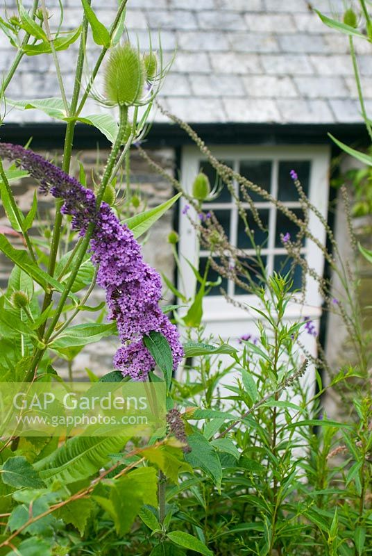 Cottage door with buddleja and teasel