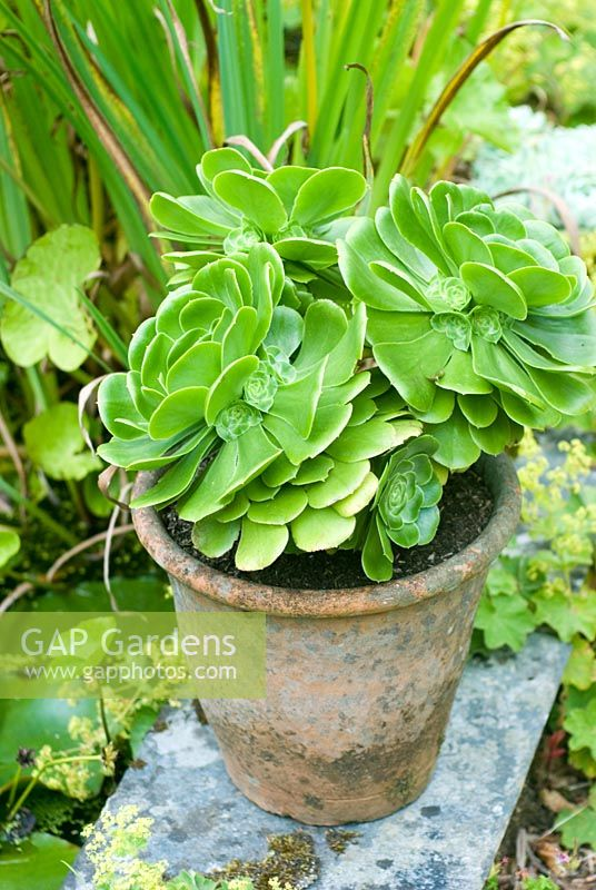 Aeonium - Giant houseleek in clay pot by pond