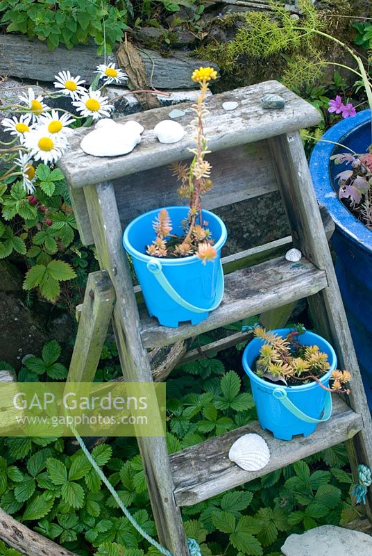 Garden steps with blue pot and buckets. Leucanthemum vulgare - Ox eye Daisies, alpine Strawberries and Geranium 'Anne Folkard'