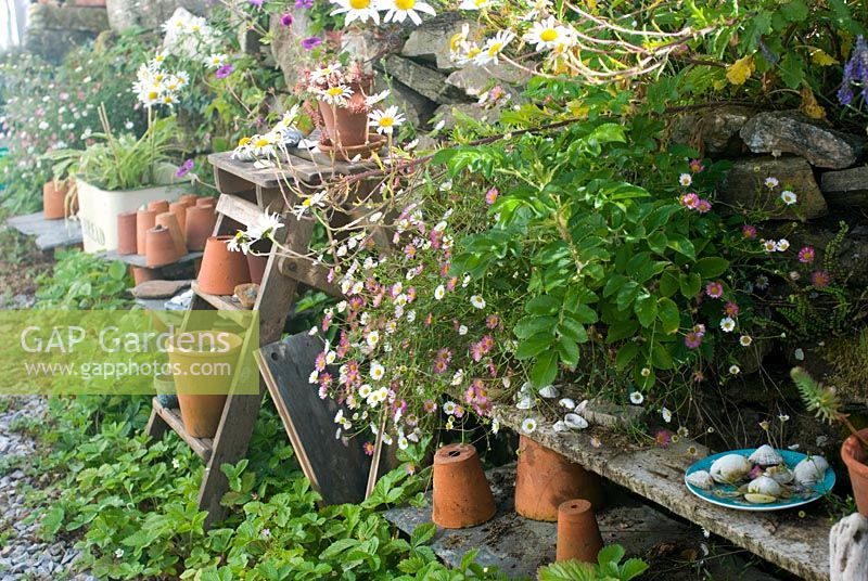 Terracotta pots on old wooden steps with alpine Strawberries and Erigeron karvinskianus in seaside garden