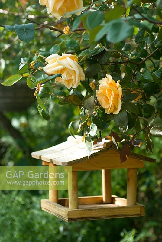 Hanging bird table with yellow climbing Rosa