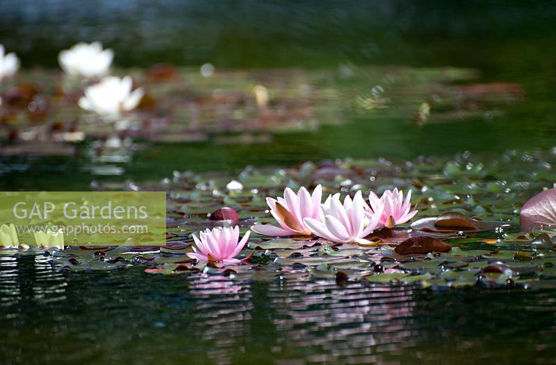 Nymphaea - Water Lilies on pond