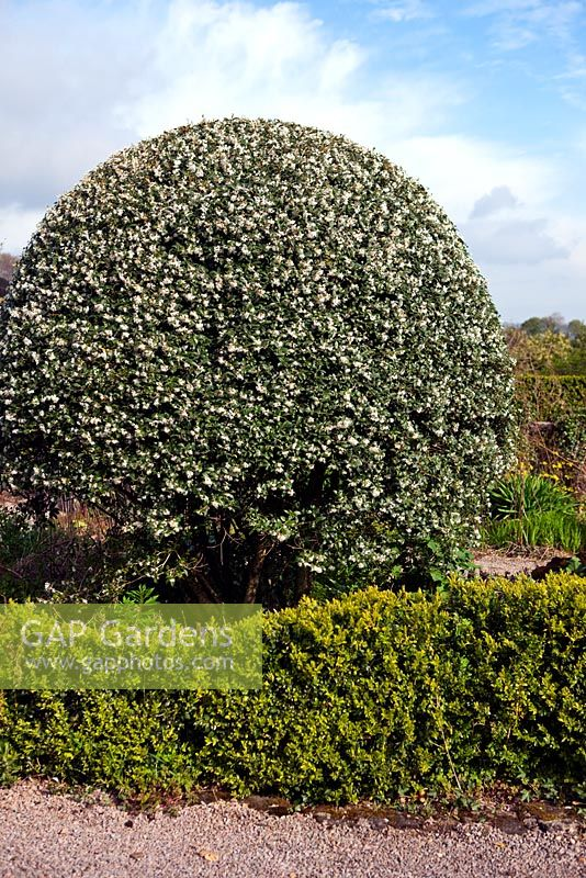 Veddw House Garden, Monmouthshire, UK. April. The Front Garden. Clipped mounds of Osmanthus x burkwoodii in flower. Box Hedge in foregound.