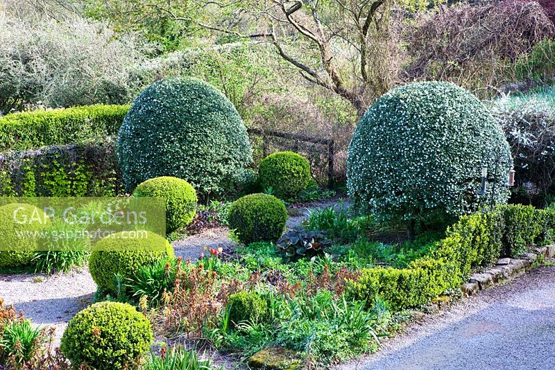Veddw House Garden, Monmouthshire, UK. AprilThe Front Garden. Clipped mounds of Osmanthus x burkwoodii in flower. Box Hedge in foregound.
