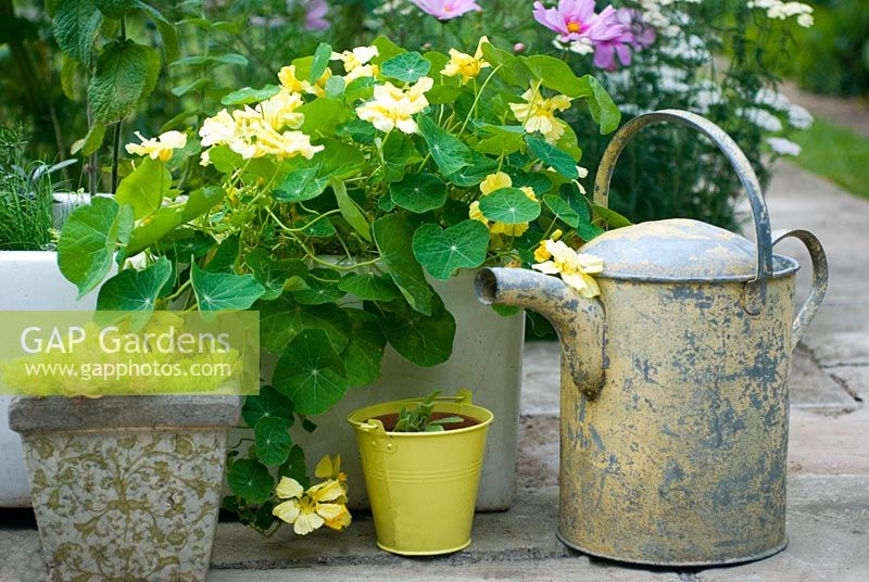 Containers with Tropaeolum - Nasturtium 'Whirlybird Cream' and watering can