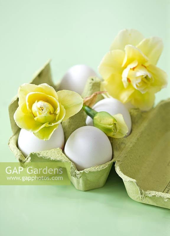 Green egg box with Narcissus 'Gay Time'