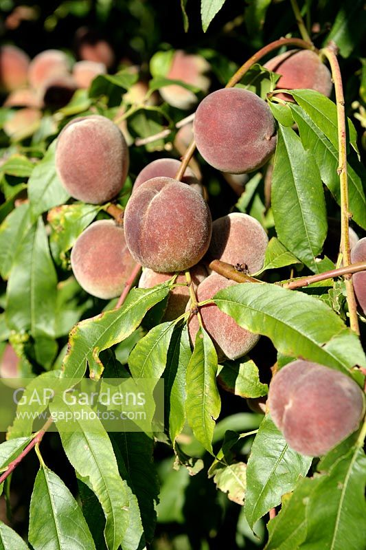 properties of prunus persica linn Gdon, euphorbia hirta linn, prunus persica (linn)stokes  introduction  many plants have antioxidant properties which protect our.