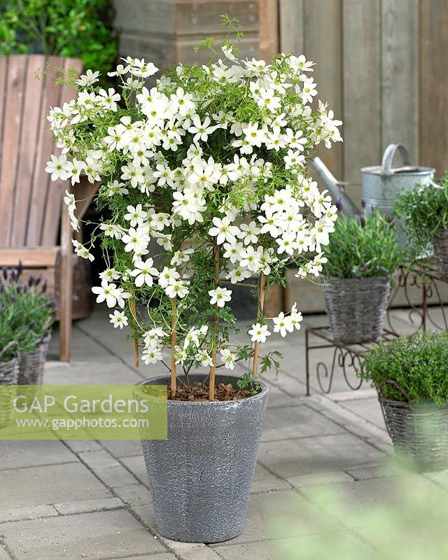 gap gardens clematis cartmanii 39 avalanche 39 image no. Black Bedroom Furniture Sets. Home Design Ideas