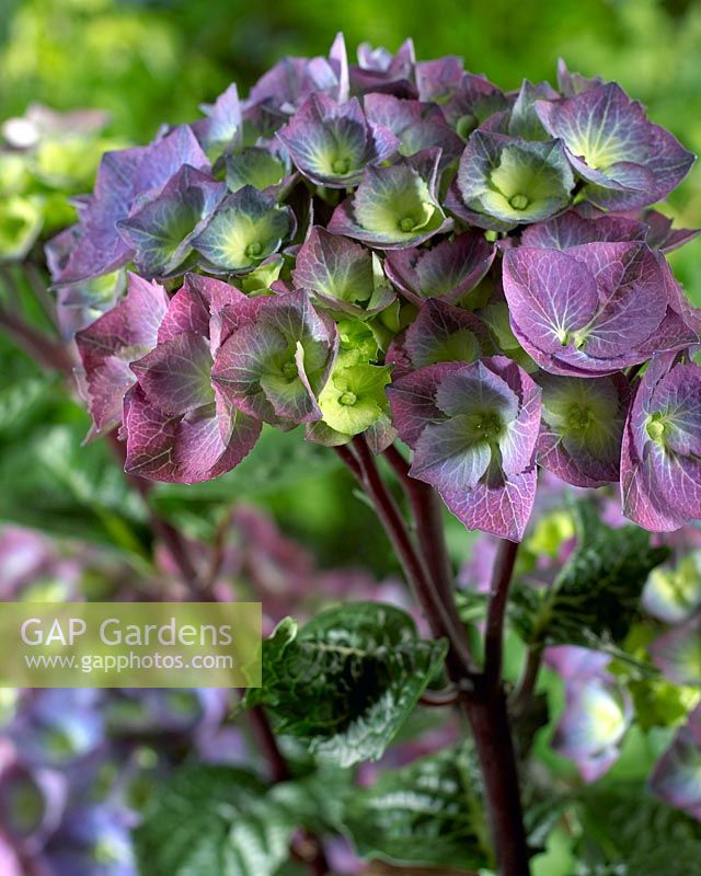 GAP Gardens - Hydrangea macrophylla \'Black Steel Zaza\' - Image No ...