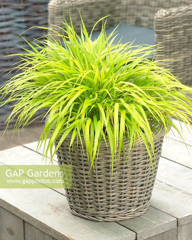 Hakonechloa macra 'All Gold' -  Grass in wicker container