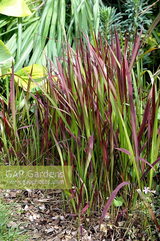 gap gardens imperata cylindrica 39 red baron 39 syn 39 rubra 39 blood grass image no 0269212. Black Bedroom Furniture Sets. Home Design Ideas