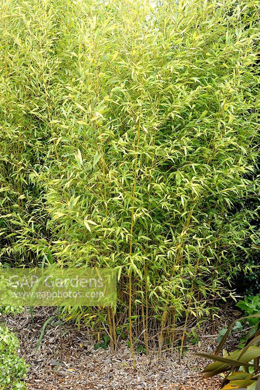 gap gardens phyllostachys aurea 39 koi 39 bamboo image. Black Bedroom Furniture Sets. Home Design Ideas