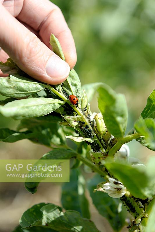 Aphis fabae - Black bean aphid with Ladybird on Broad Beans leaves