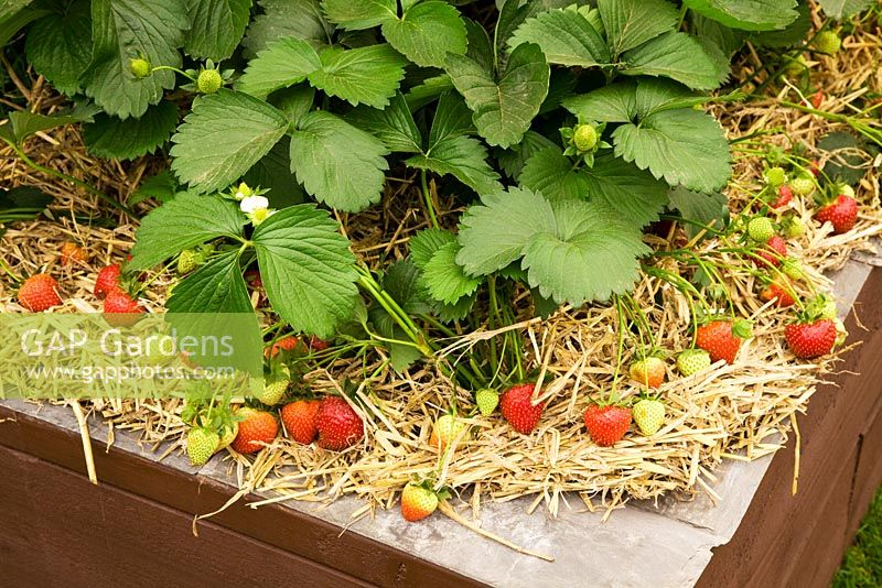 Strawberries mulched with straw in raised beds