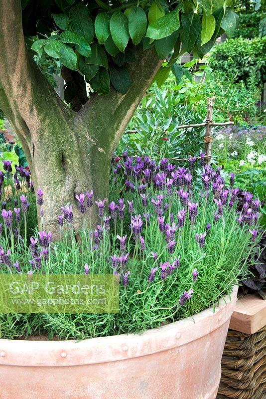 Lavandula Stoechas   French Lavender Underplanting Potted Citrus Tree    U0027The M And G Investments