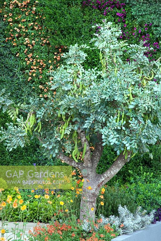 Gap gardens caratonia siliqua the carob tree 39 a monaco garden 39 gold medal winner rhs - Chelsea flower show gold medal winners ...