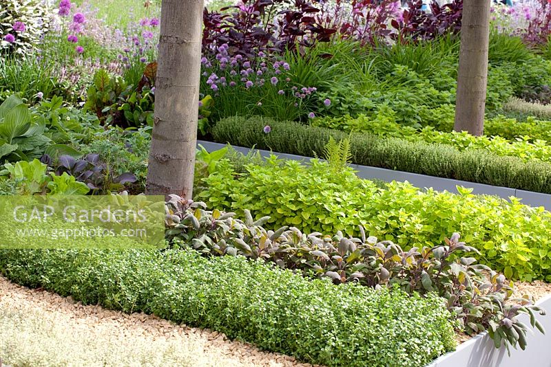 Herbs growing in rectangular raised beds. Salvia officinalis pupurescens - Purple Sage, Thymus vulgaris - Thyme, Origanum vulgare  - Oregano - 'The B and Q Garden', Gold Medal Winner, RHS Chelsea Flower Show 2011