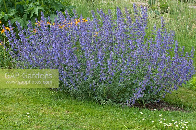gap gardens nepeta x faassenii 39 six hills giant 39 image no 0273220 photo by frederic didillon. Black Bedroom Furniture Sets. Home Design Ideas