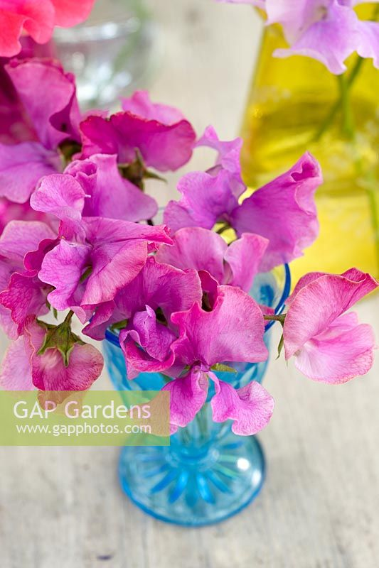 Pink Lathyrus odorata (Sweetpeas) displayed in small blue glass