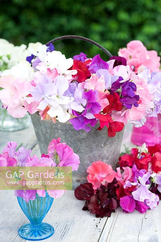 Lathyrus odorata  - sweetpeas displayed in metal container and small vases