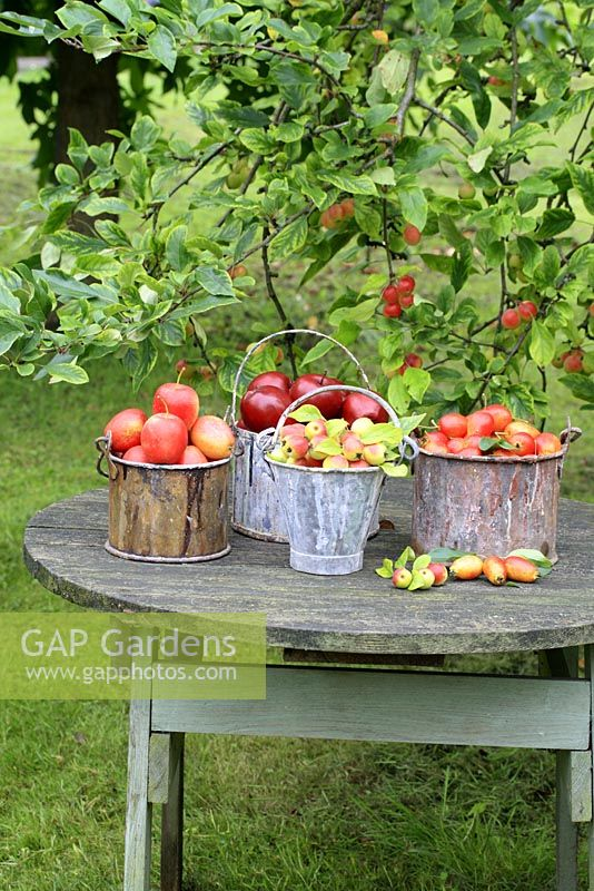 Malus 'John Downie' and 'Harry Baker' - Crab apples in metal buckets on rustic table