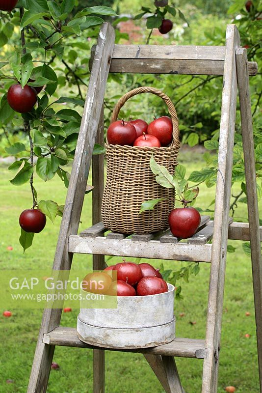 Malus 'Harry Baker' - Apples in basket and seive on wooden step ladder with patchwork apron