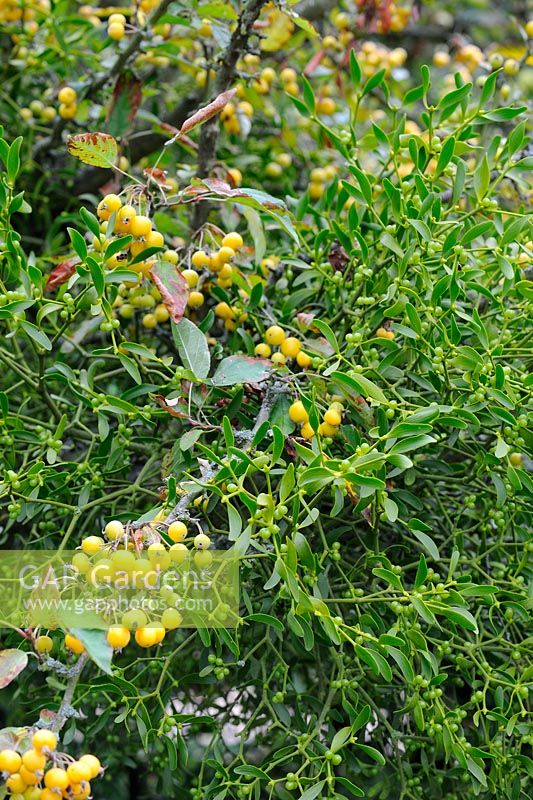 Malus - Crab Apple 'Golden Hornet' with Viscum - Mistletoe attached, Norfolk, UK, September