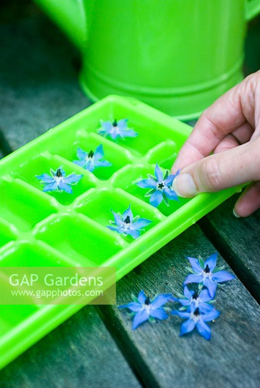 Making ice cubes with Borage flowers