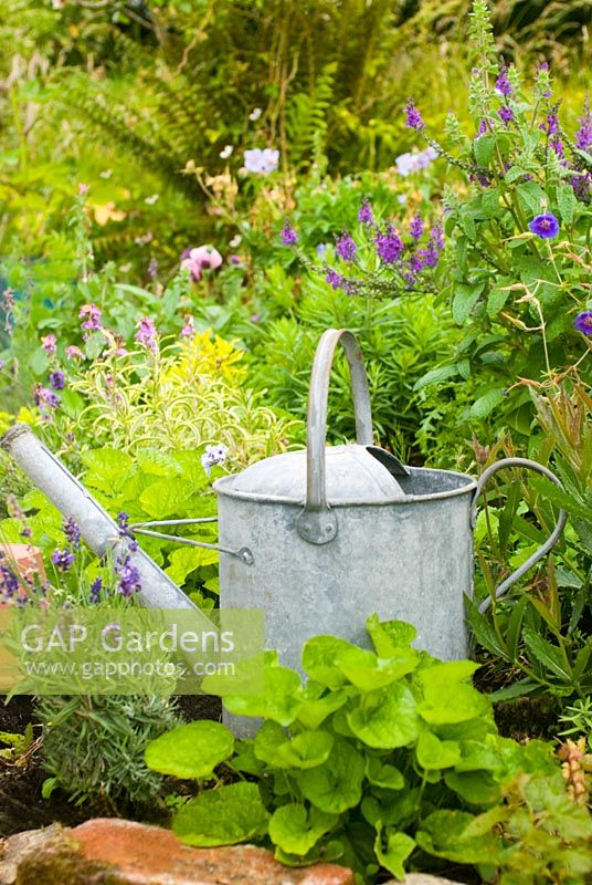 Old watering can in purple flower border of Linaria, Lavandula