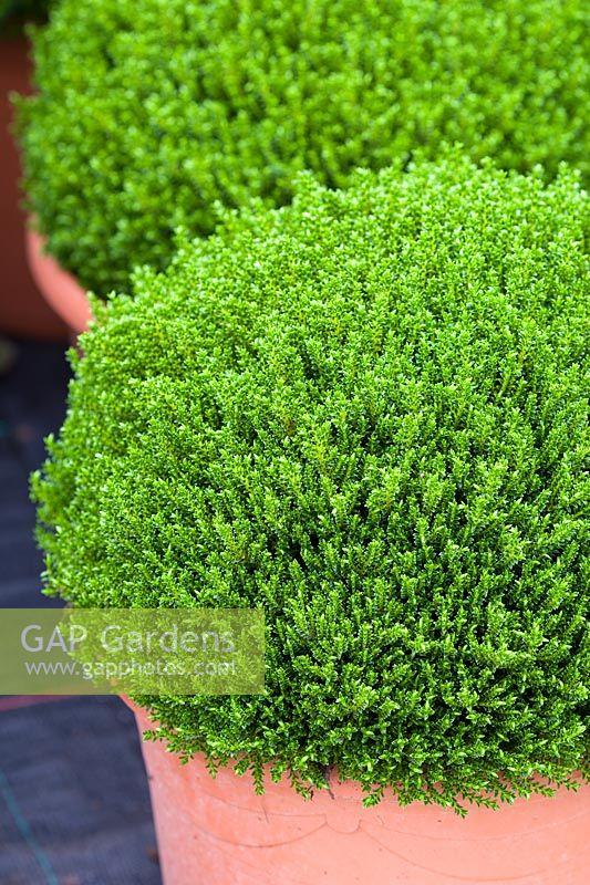 gap gardens hebe 39 emerald green 39 syn h 39 green globe 39 image no 0276250 photo by lee avison. Black Bedroom Furniture Sets. Home Design Ideas