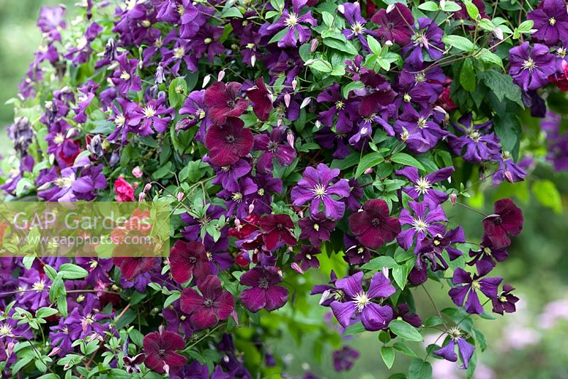 gap gardens clematis 39 etoile violette 39 and clematis. Black Bedroom Furniture Sets. Home Design Ideas
