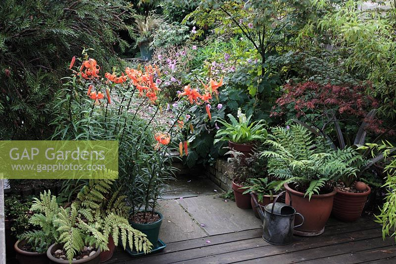 Urban garden with Lilium lancifolium 'Splendens' -  Turks Cap Lily in pot, Athyrium Otophoroum Okanum - semi evergreen Fern, Eucomis 'White Dwarf' - Pineapple Lily, Athyrium Niponicum Pictum, Blechnum spicant - Hard Fern, Cyrtomium falcatum - Holly Fern, Anemone, Acer, Bamboo in pots on patio, August