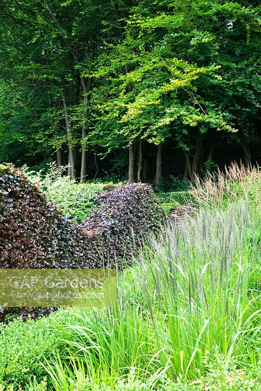 The Grasses Parterre. Calamagrostis brachytricha in foregound, Calamagrostis x acutiflora  'Overdam' behind. Double hedge of Beech - Fagus sylvatica and F.s. 'Atropurpurea Group'. Outgrown beech hedge behind - Veddw House Garden, August.