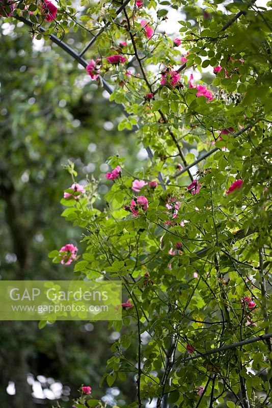 Gap gardens rosa rubiginosa eglantine sweetbriar rose for Sweetbriar garden homes