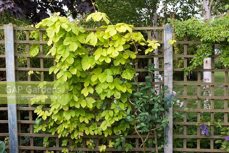 Humulus lupulus - Hops growing through trellis with Lonicera