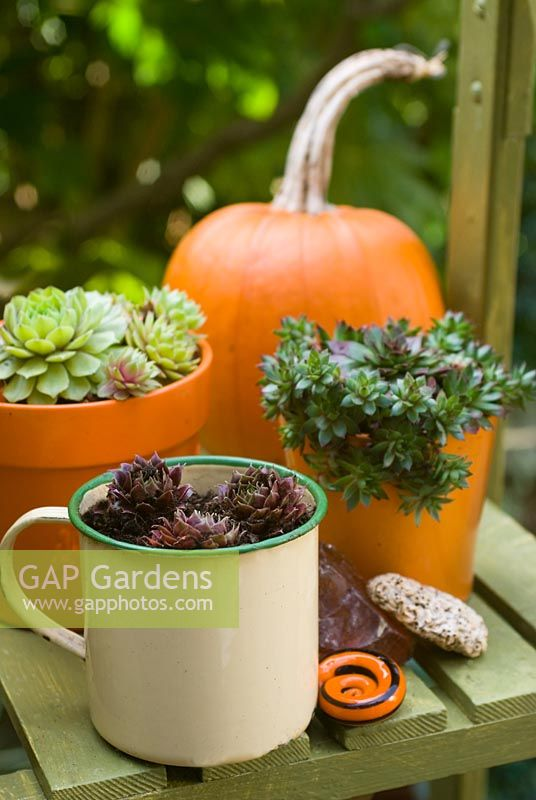 Pumpkin 'Mars' on steps with Sempervivum - Houseleeks