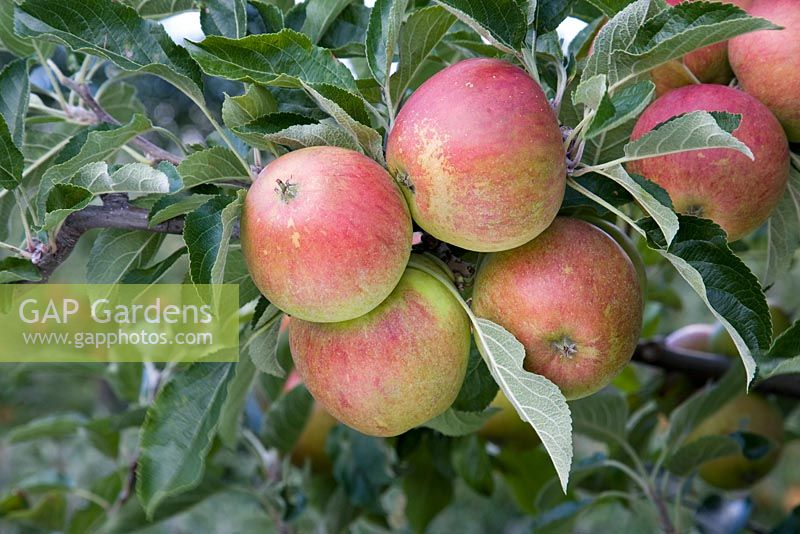 Malus domestica - Apple 'Queen Cox'