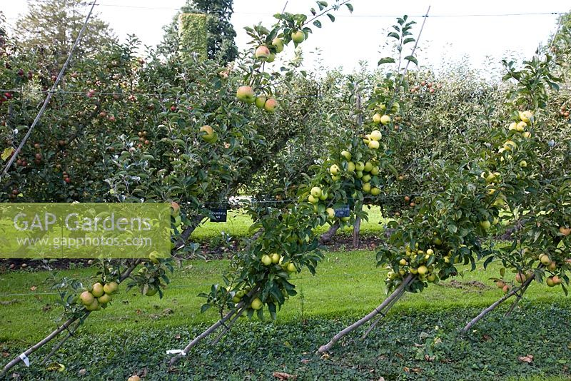 Oblique Cordon Apples on M9 rootstock