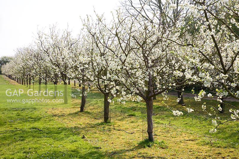 gap gardens prunus domestica 39 avalon 39 on st julien 39 a 39 rootstock plum trees in blossom. Black Bedroom Furniture Sets. Home Design Ideas
