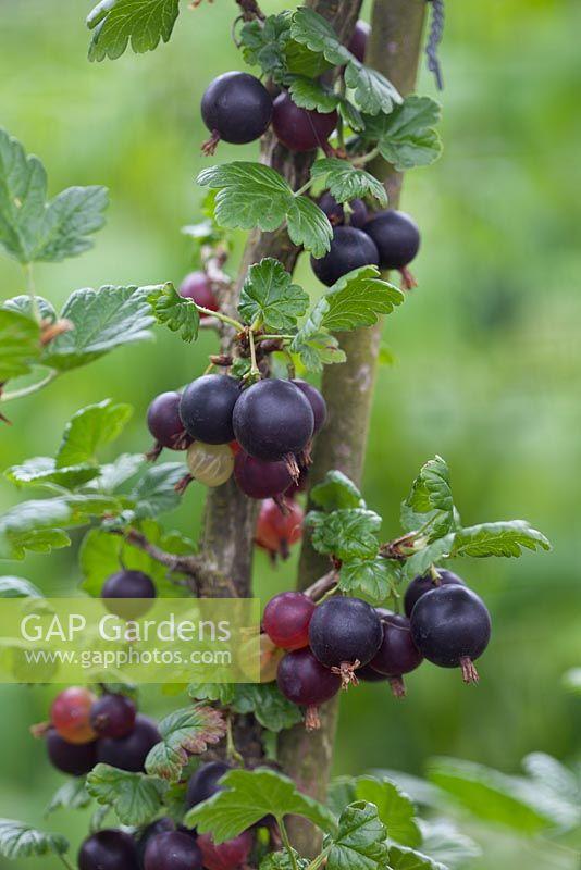 gap gardens ribes uva crispa gooseberry 39 black velvet 39 image no 0283539 photo by tommy. Black Bedroom Furniture Sets. Home Design Ideas