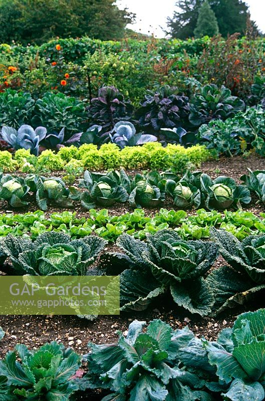 Cabbages and lettuce in veg garden