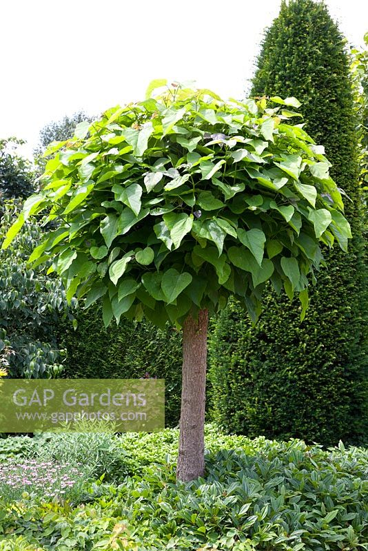 gap gardens trompetenbaum catalpa bignonioides nana image no 0284202 photo by elke borkowski. Black Bedroom Furniture Sets. Home Design Ideas