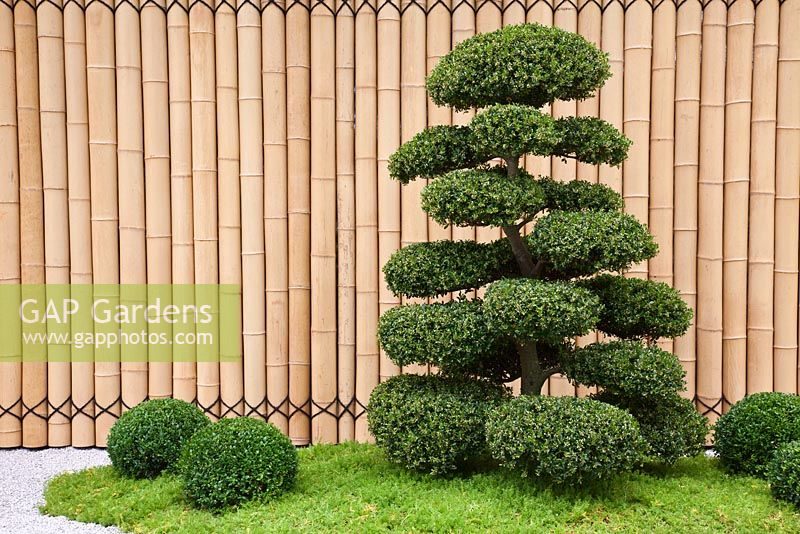 Cloud Pruned Ilex Crenata Buxus Sempervirens And Bamboo Fence In The Anese Themed