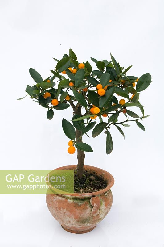 Scenic Gap Gardens  Fortunella Hindsii  Kumquat  Image No   With Fetching Fortunella Hindsii  Kumquat With Astonishing Bodnant Gardens Laburnum Arch Also Downtown Garden Centre Opening Times In Addition Office Shoes Covent Garden And Gardening Ideas For Children As Well As Swing For Garden Additionally Trees For Garden From Gapphotoscom With   Fetching Gap Gardens  Fortunella Hindsii  Kumquat  Image No   With Astonishing Fortunella Hindsii  Kumquat And Scenic Bodnant Gardens Laburnum Arch Also Downtown Garden Centre Opening Times In Addition Office Shoes Covent Garden From Gapphotoscom