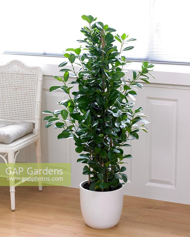 gap gardens ficus microcarpa 39 moclame 39 image no 0286714 photo by visions. Black Bedroom Furniture Sets. Home Design Ideas