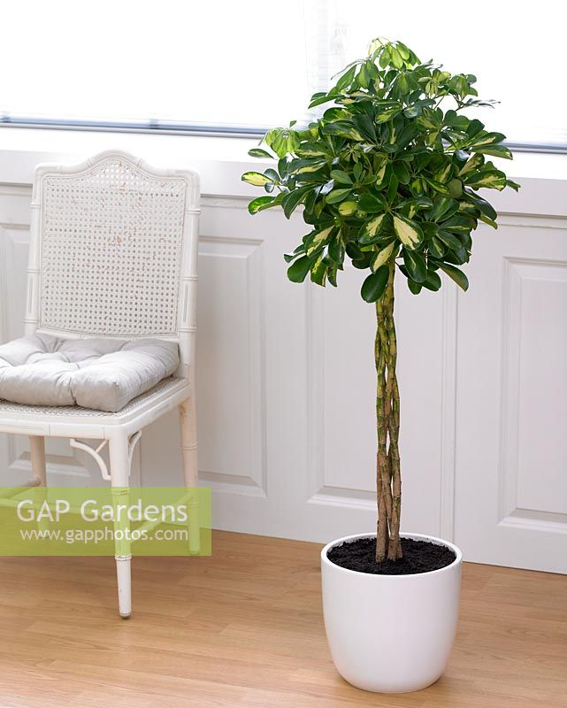 gap gardens schefflera arboricola 39 gold capella 39 image no 0286715 photo by visions. Black Bedroom Furniture Sets. Home Design Ideas