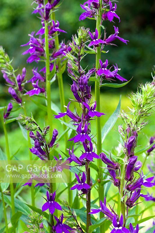 Gap Gardens Lobelia X Speciosa Vedrariensis Image No 0289177