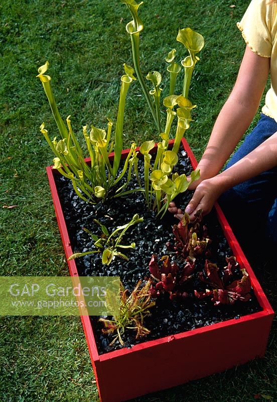 Bog plants in a raised bed with black glass mulch - Sarracenia flava and Sarracenia purpurea ssp purpurea, Drosera capensis and venus flytrap