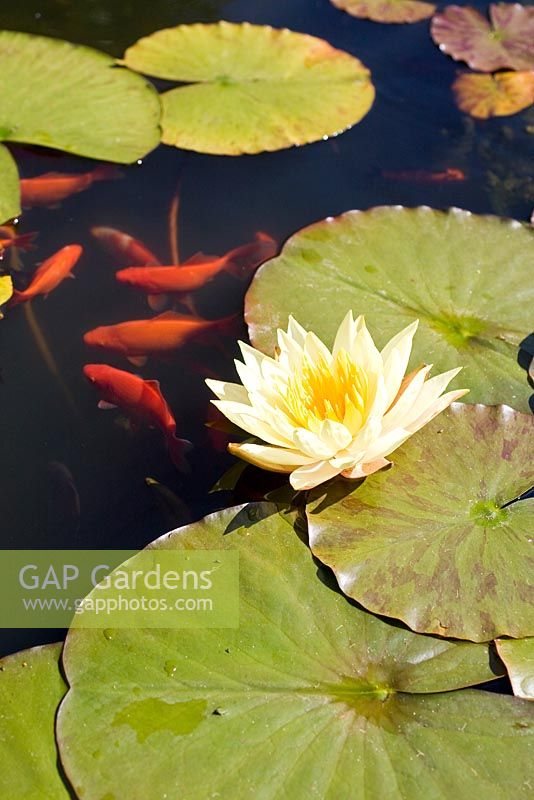 Yellow Nymphaea and Golden Carp in Pond